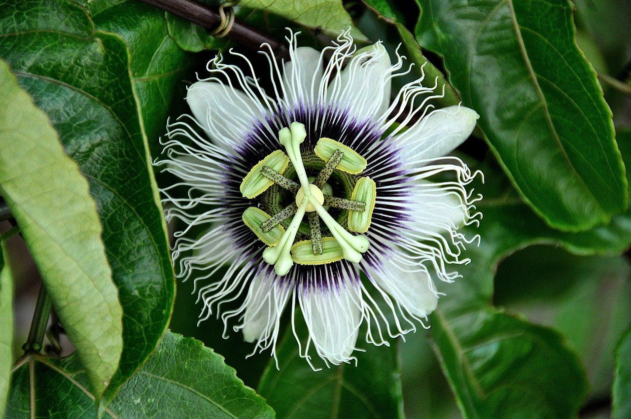 passion flower ocoee